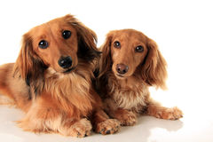 Two longhair dachshunds stock photography