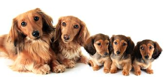 Two longhair dachshunds Stock Photos