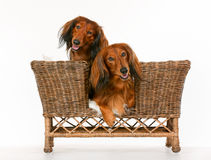 Two longhaired dachshund dogs in dog sofa Stock Photography