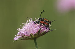 Two longhorn beetles mating on Field Scabious flower close up Royalty Free Stock Photo