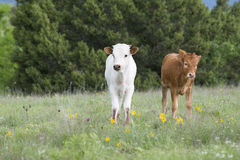 Two longhorn calves Royalty Free Stock Image