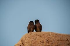 Two look alike birds posing on the rock. In dubai Stock Image