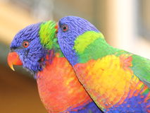Rainbow Lorikeet pair. Portrait of free living but tamed Australian Rainbow Lorikeet birds snuggled together - having a strong bond. Picture taken in a backyard Royalty Free Stock Image