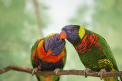 Two lorikeet lovebirds. Blue orange and green birds on a branch Royalty Free Stock Photo