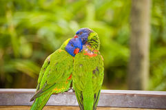 Two lorikeets Royalty Free Stock Photos