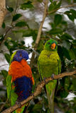 Two Lorikeets. Perched on a branch one preening the other sleeping or is he laughing at the other one Stock Photography