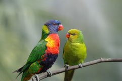 Two lorikeets. In close proximity of each other stock images