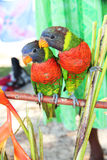 Two Lorikeets. Standing next to each other on a branch in Vanuatu, south Pacific Royalty Free Stock Images