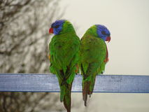 Two lorrikeets looking in different directions. Two rainbow lorrikeets, sitting side by side, but looking in opposing directions Royalty Free Stock Photography