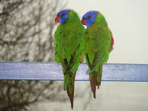 Two lorrikeets looking same direction. Two rainbow lorrikeets sitting side by side, and looking in the same direction Royalty Free Stock Images