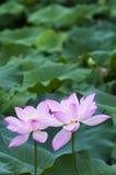 Two Lotus stock image