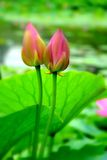 Two lotus buds Stock Photography