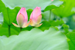 Two lotus flower bud Royalty Free Stock Photos