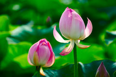 Two lotus flower buds Royalty Free Stock Photo