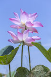 Two lotus flower paired shine in the sky Stock Photography