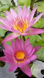 Two Lotus flower. Lotus with purple and yellow flowers are long pointed features, pollen are beautiful plants that grow in water. In Lotus is believed. Pure Royalty Free Stock Photos