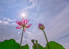 Two lotus flower to sun stars. Two lotus flower sun stars as a family to get ahead in life to see what that beautiful gift for their life in nature stock images