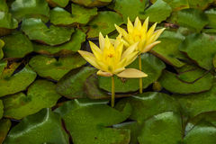 Two  lotus flower or water lily. Stock Photography