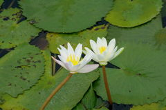 Two lotus flowers Royalty Free Stock Photos