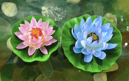Two lotus flowers Stock Image