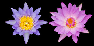 Two lotus flowers Royalty Free Stock Photo