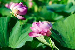 Two lotus flowers Royalty Free Stock Photos
