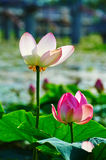 Two lotus flowers Royalty Free Stock Photography