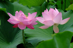 two Lotus flowers Stock Photography