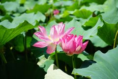 Two lotus flowers are standing among the leaves. Two red lotus flowers are standing among the green leaves.the flowers are blooming royalty free stock photo