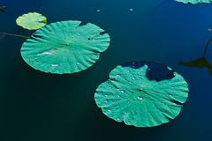 Two lotus Leaves Royalty Free Stock Photo
