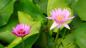 Two lotus in nature Royalty Free Stock Image