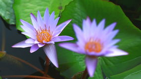 Two lotus in nature stock footage