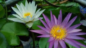 Two lotuses in the well. With lotus leaf Stock Photography