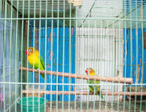 A two love bird. Perch at wood stem inside bird cage on Malang Bird Market, East Java Royalty Free Stock Photography