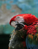 Two in love parrots. Royalty Free Stock Photos
