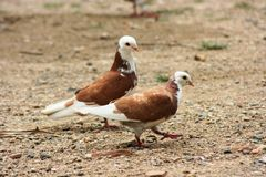 Two love pigeon Stock Photos