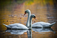 Two love swans Stock Photography