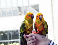 Two lovebird Parrots sitting on a female hand outdoors. Two lovebird Parrots Agapornis sitting on a Female hand, with blurred out City Buildings as background Royalty Free Stock Photography