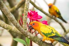 Two lovebirds eating plumeria. Stock Photo