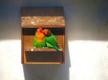 Two lovebirds enjoying each other`s company in the birdhouse stock image