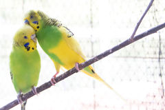 Two Lovebirds Standing On A Branch Royalty Free Stock Images