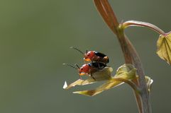 Two lovely beetles. This two lovelu beetles are enjoyable about mating Stock Image