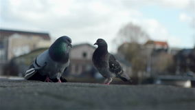 Two lovely birds in Amsterdam.  stock video