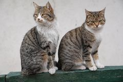 Two lovely brown cat sitting side by side royalty free stock photography