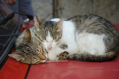 Two lovely cats  laying on the hood of car Royalty Free Stock Image