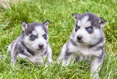 Two siberian husky Royalty Free Stock Images