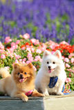 Two lovely dogs Stock Images
