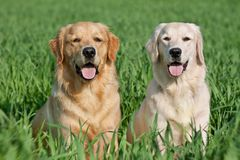 Two lovely dogs on a green field Stock Photography