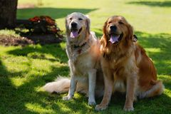Two lovely dogs on a green field Royalty Free Stock Image