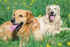 Two lovely dogs on a green field Royalty Free Stock Photos